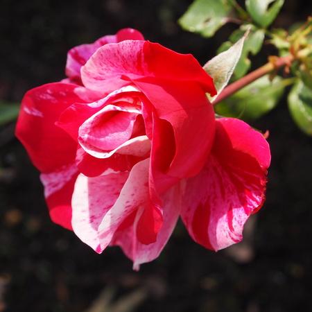 秋のバラ_a0292194_1653529.jpg