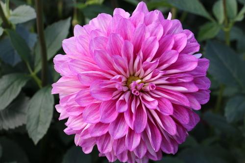 咲いてます!川西ダリヤ園・・・120_c0075701_812568.jpg