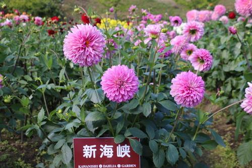 咲いてます!川西ダリヤ園・・・120_c0075701_8132568.jpg