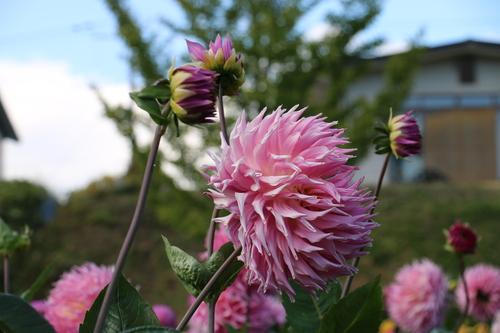 咲いてます!川西ダリヤ園・・・120_c0075701_813341.jpg