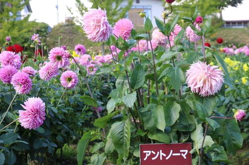 咲いてます!川西ダリヤ園・・・120_c0075701_8135847.jpg