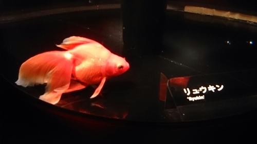 すみだ水族館の金魚。_b0298605_16481298.jpg