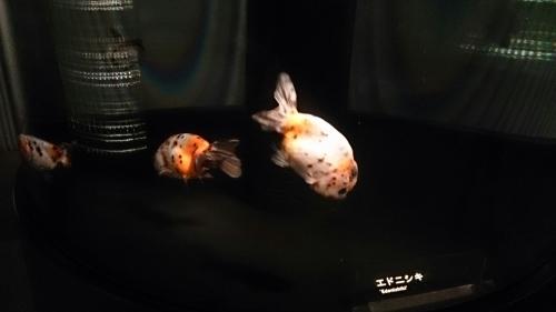 すみだ水族館の金魚。_b0298605_16482459.jpg