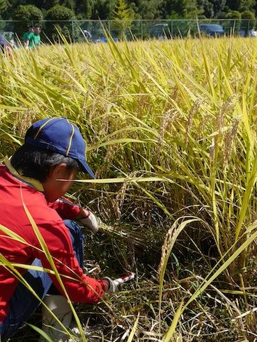 お子様向けイベント「稲刈り体験」を実施しました。_d0284244_17495494.jpg