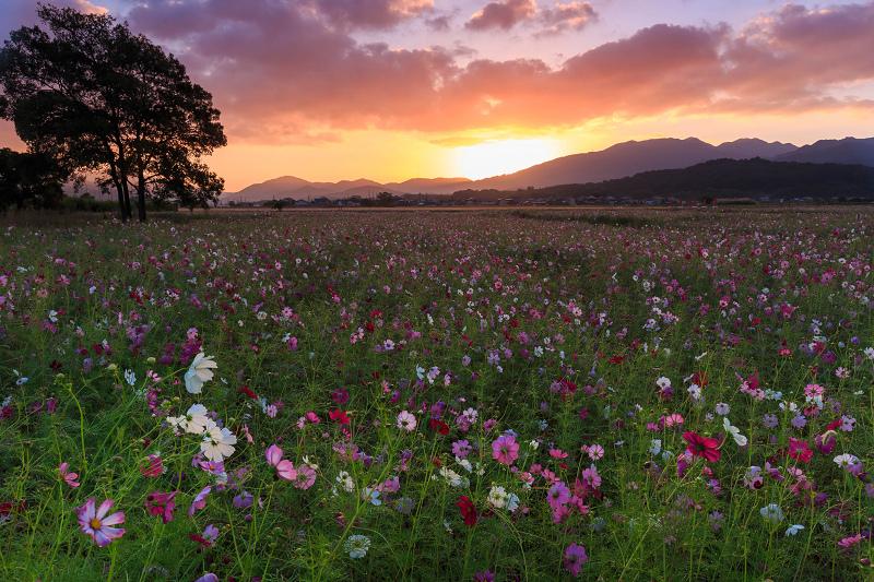 藤原宮跡のコスモスが綺麗で美しい花畑
