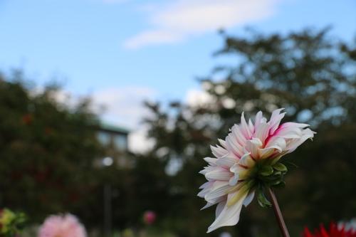 咲いてます!川西ダリヤ園・・・121_c0075701_703648.jpg