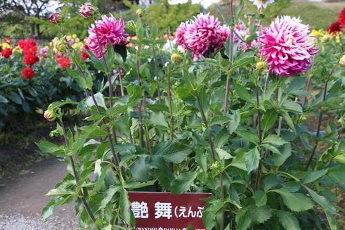 咲いてます!川西ダリヤ園・・・121_c0075701_705725.jpg