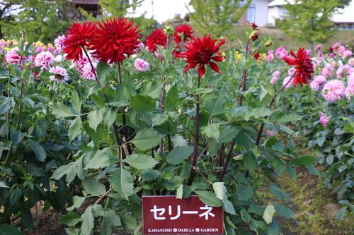 咲いてます!川西ダリヤ園・・・121_c0075701_712658.jpg