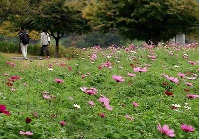 秦野戸川公園のコスモスが見ごろだよ_c0171849_11325051.jpg