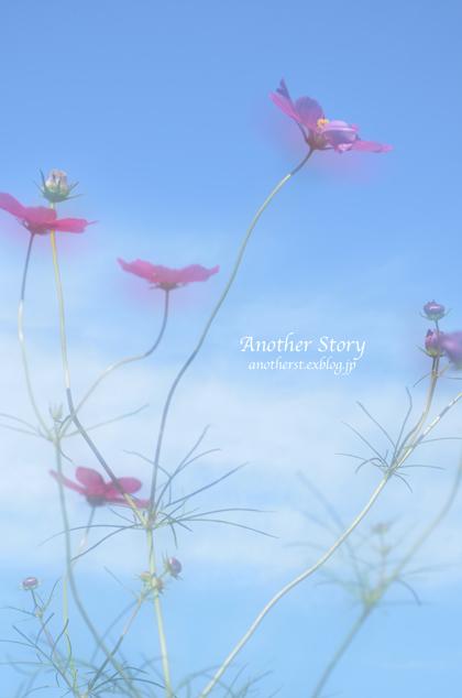 秋桜_a0238574_20311498.jpg