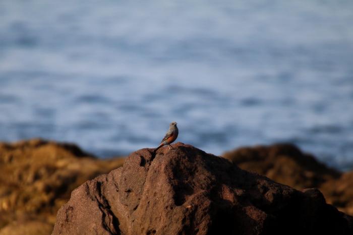 2015.10.22 待鳥来らず・真鶴岬・ヒヨドリ他(The bird which I was waiting did not come.)_c0269342_21190842.jpeg