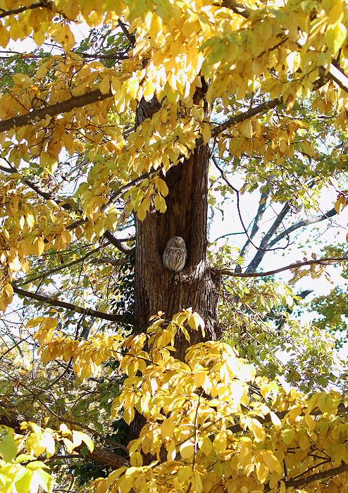 黄葉の森にて・・エゾフクロウ_c0113597_15195111.jpg