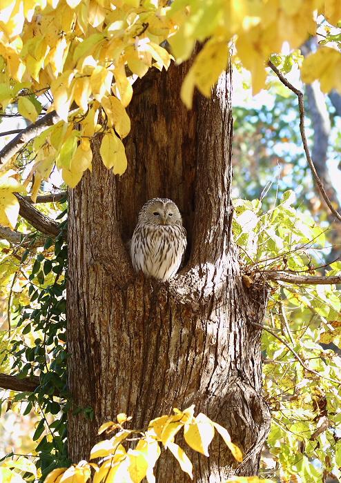 黄葉の森にて・・エゾフクロウ_c0113597_15235619.jpg