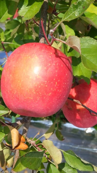 リンゴ園見学🍎_c0090212_21261637.jpg