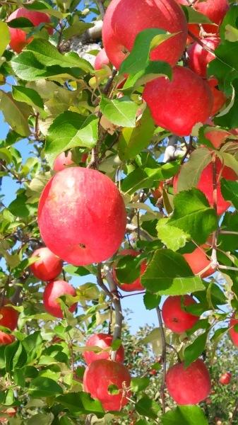 リンゴ園見学🍎_c0090212_21262619.jpg