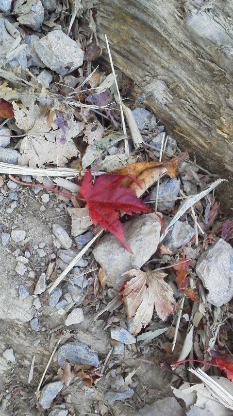 10月23日・気か付けば、紅葉は見ノ越周辺にかけ降りていました。朝の気温か6℃近くあって、ほんまに暖かく過ごしやすいこの秋です。_c0089831_1545861.jpg