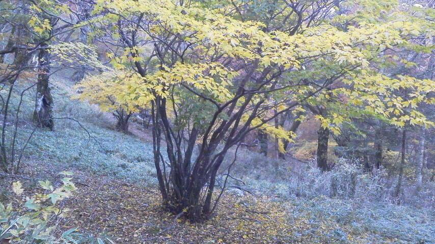 10月23日・気か付けば、紅葉は見ノ越周辺にかけ降りていました。朝の気温か6℃近くあって、ほんまに暖かく過ごしやすいこの秋です。_c0089831_1545865.jpg