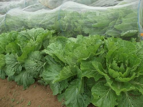 秋野菜の成長は...順調??_b0137932_16291762.jpg