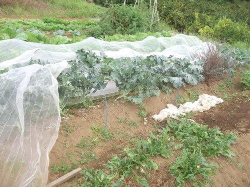 秋野菜の成長は...順調??_b0137932_16303795.jpg