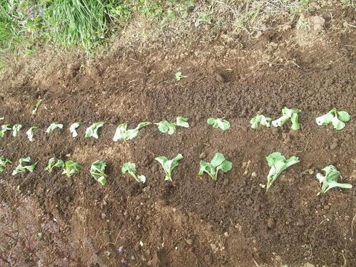 秋野菜の成長は...順調??_b0137932_174513.jpg