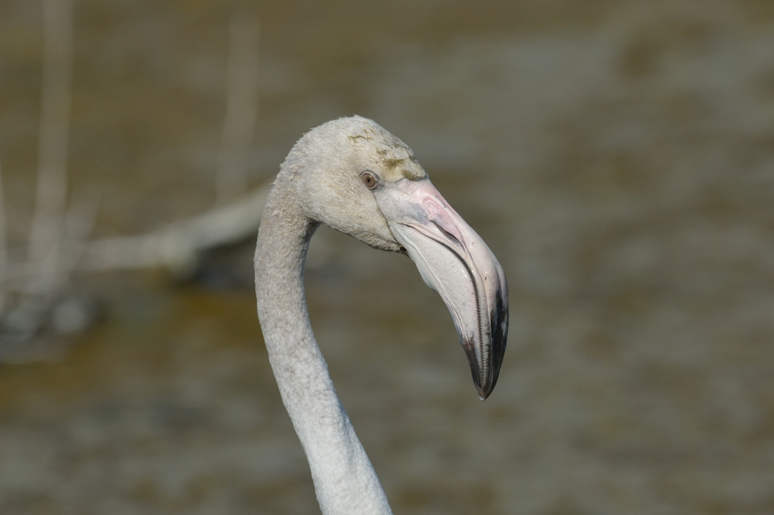 オオフラミンゴ(Greater Flamingo)~2015.04_b0148352_9584133.jpg