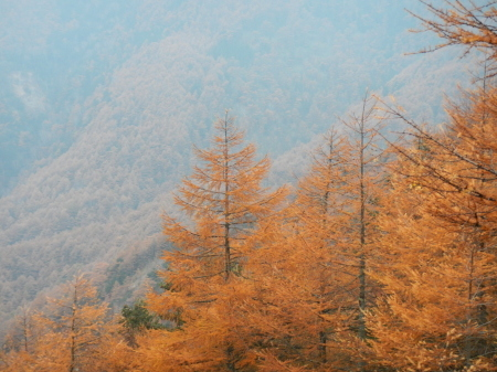 唐松の紅葉と落ち葉_e0120896_07442742.jpg