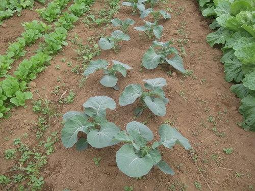 秋野菜の成長は...順調??_b0137932_4281534.jpg