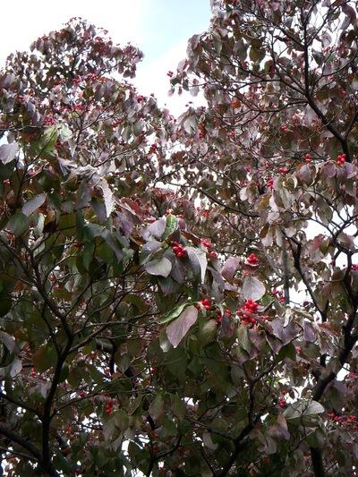 秋のハナミズキ。。。_a0229658_13185593.jpg