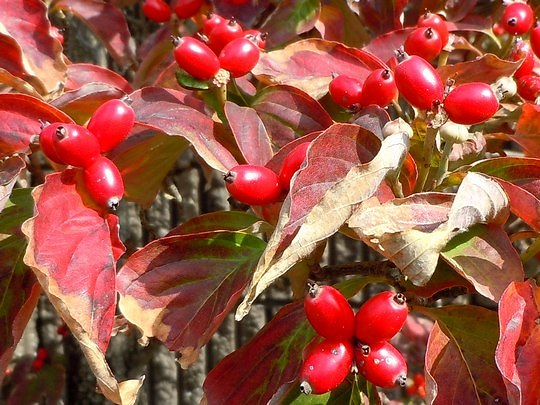 路傍の花、樹々の鳥(99) ~ 花水木はルビー色の実をつける ~_b0102572_17591391.jpg