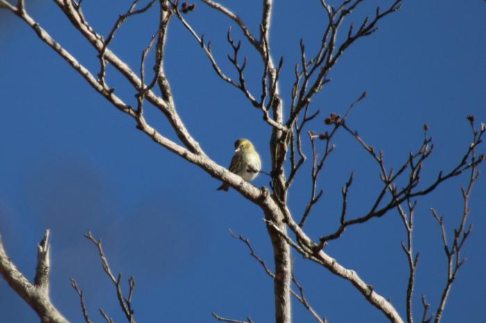2015.10.25 冬鳥はまだ少ないですね・富士山麓・マヒワ他_c0269342_21404613.jpeg