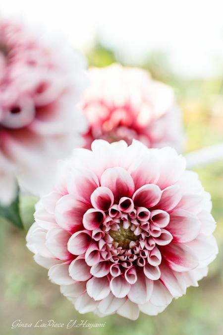 花のある風景 秋晴れのダリア_b0133053_0323211.jpg