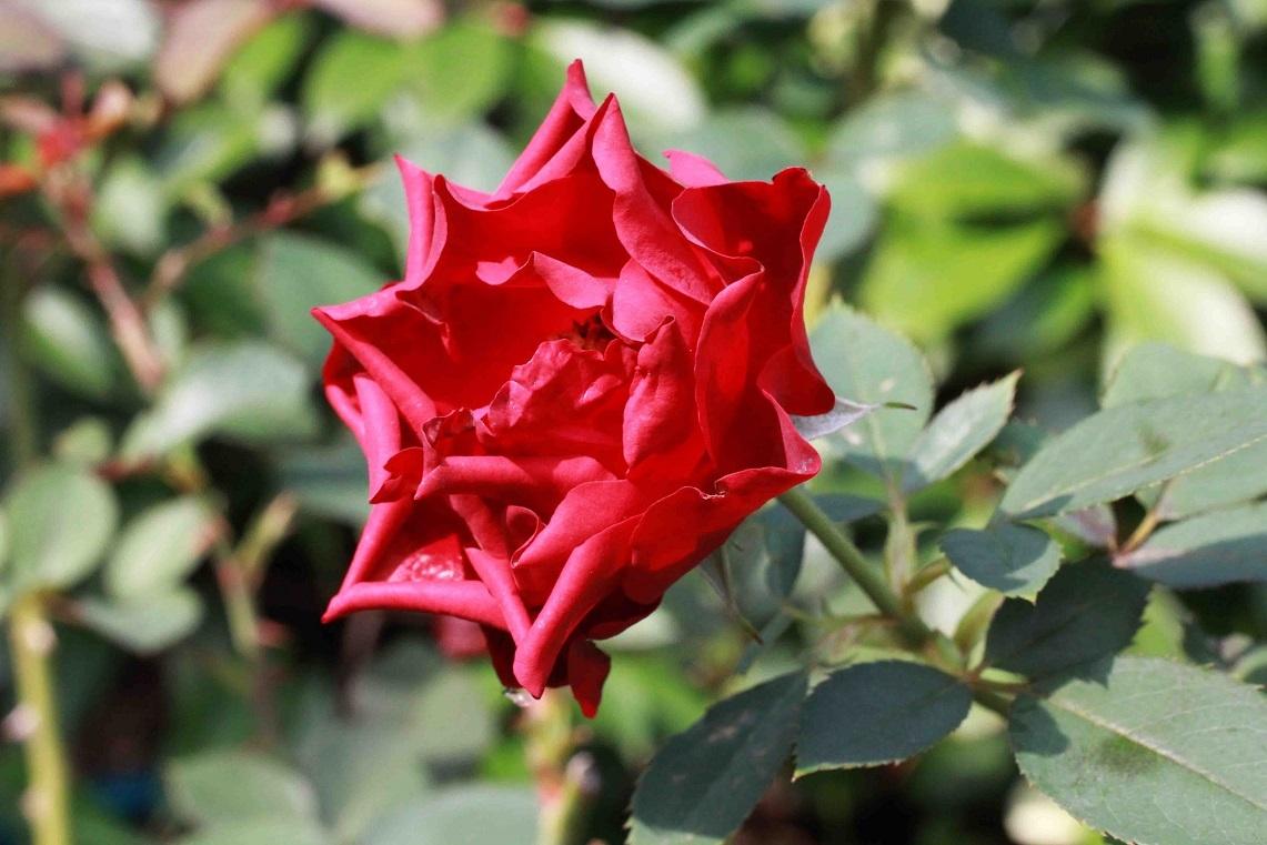 なかなか難しい秋薔薇  ~オマージュ・ア・バルバラ~_a0107574_17342593.jpg