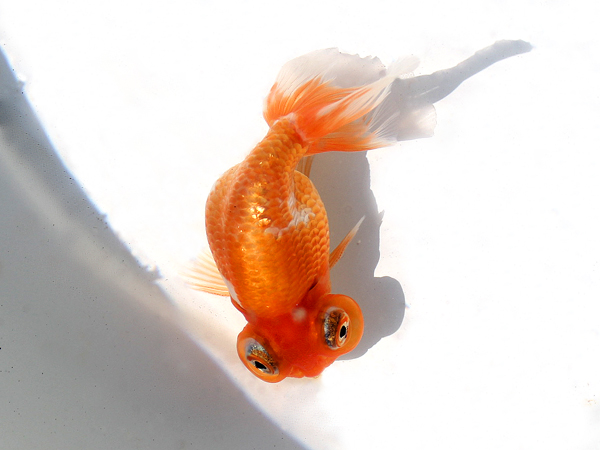第22回金魚日本一大会_a0199486_199339.jpg