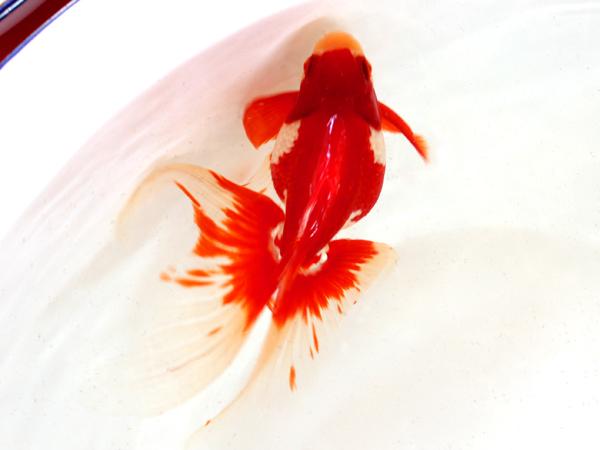 第22回金魚日本一大会_a0199486_1995986.jpg