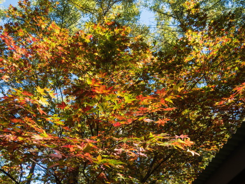 晩秋の農村風景を彩る・・カラマツの紅葉が始まりました!_f0276498_19583823.jpg