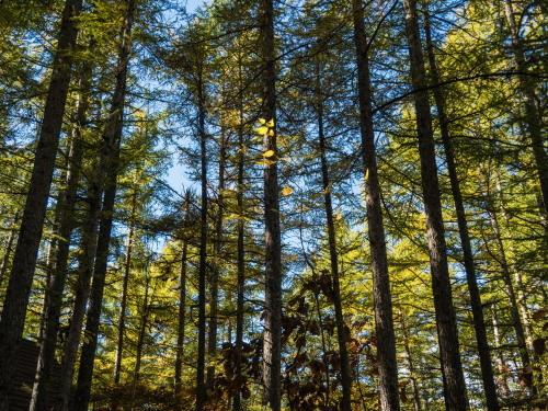 晩秋の農村風景を彩る・・カラマツの紅葉が始まりました!_f0276498_20014896.jpg