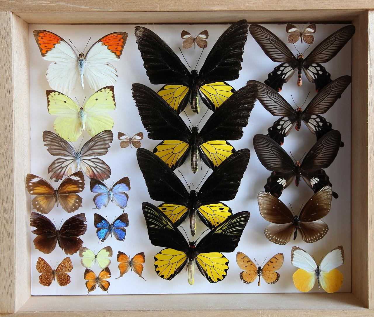 蝶コレクション_f0296999_16154421.jpg