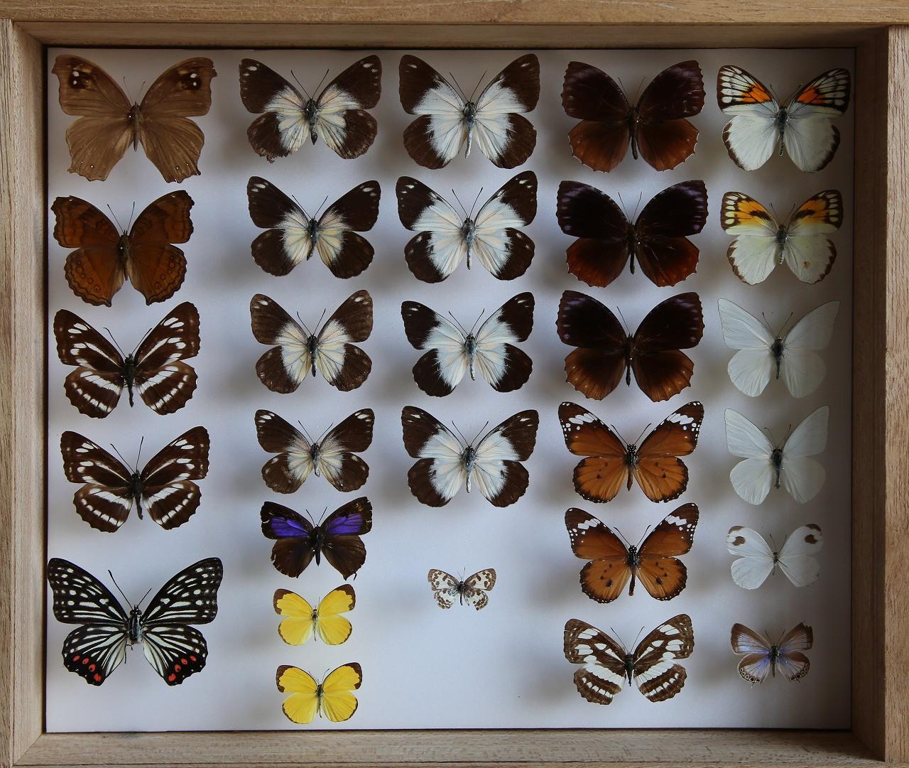 蝶コレクション_f0296999_16162192.jpg