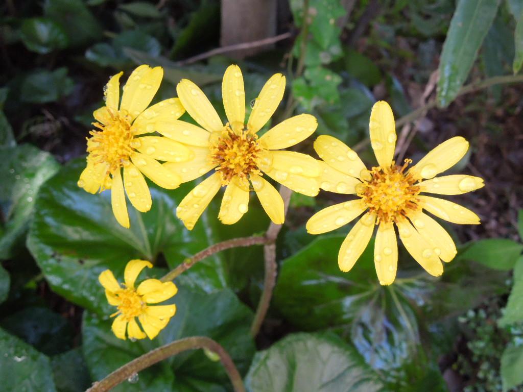 「石蕗(つわぶき)の花 2015」_a0120513_2031424.jpg