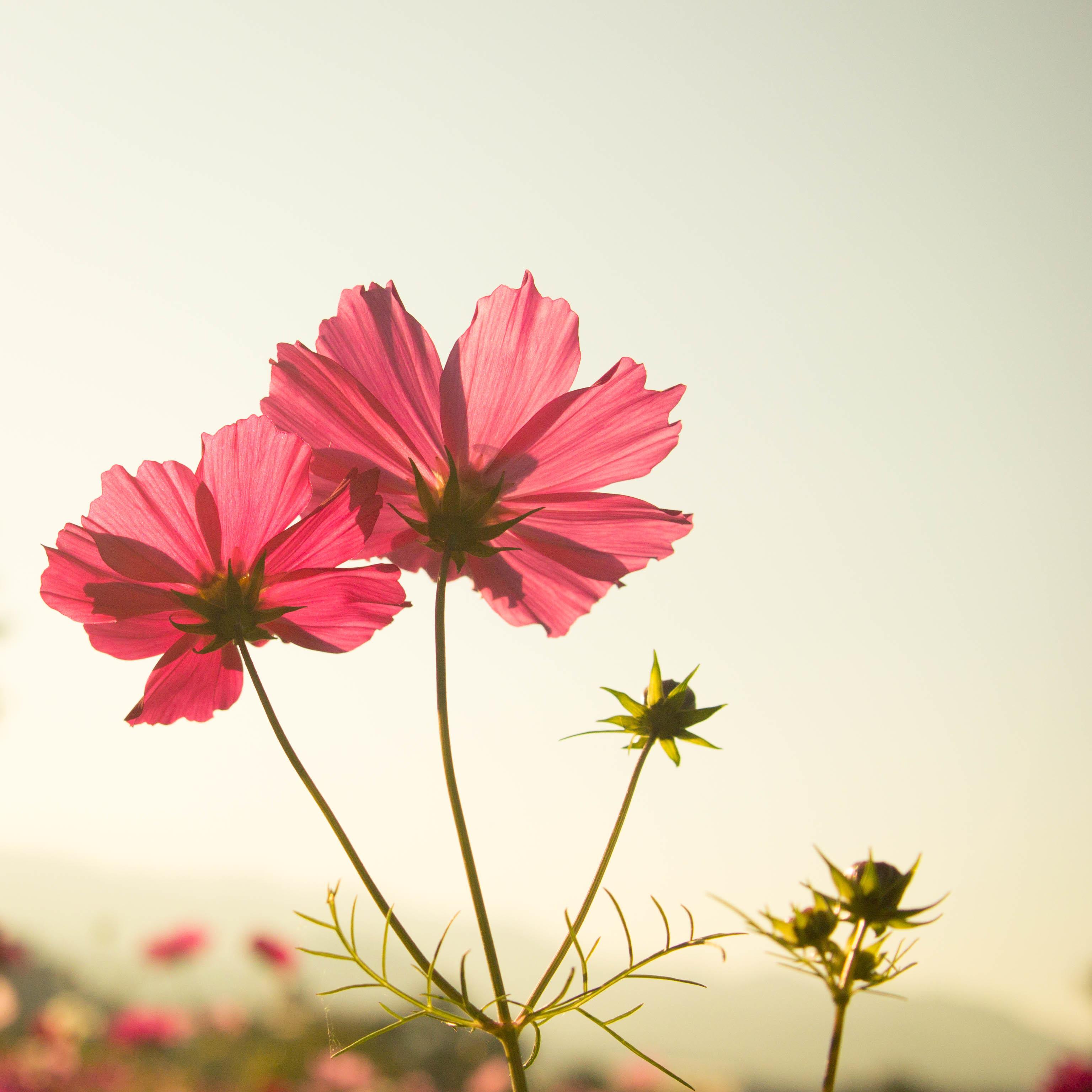 """この季節やっぱり """"秋桜""""_d0344864_17040138.jpg"""