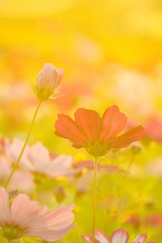 """この季節やっぱり """"秋桜""""_d0344864_17045652.jpg"""