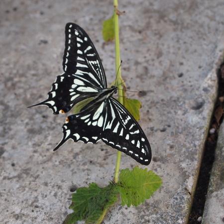 秋のアゲハ蝶_a0292194_1834581.jpg