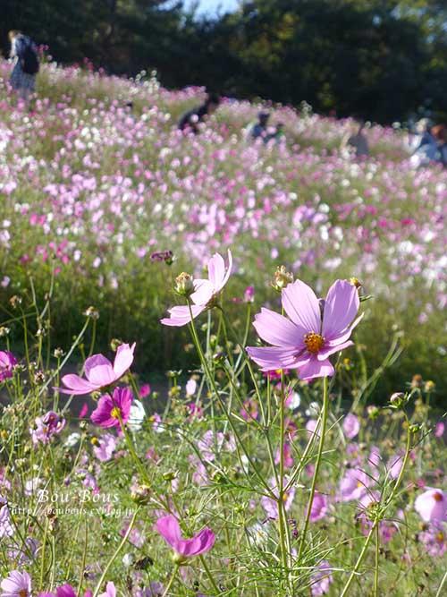 秋の昭和記念公園 その2 コスモスの丘・他_d0128697_23124833.jpg