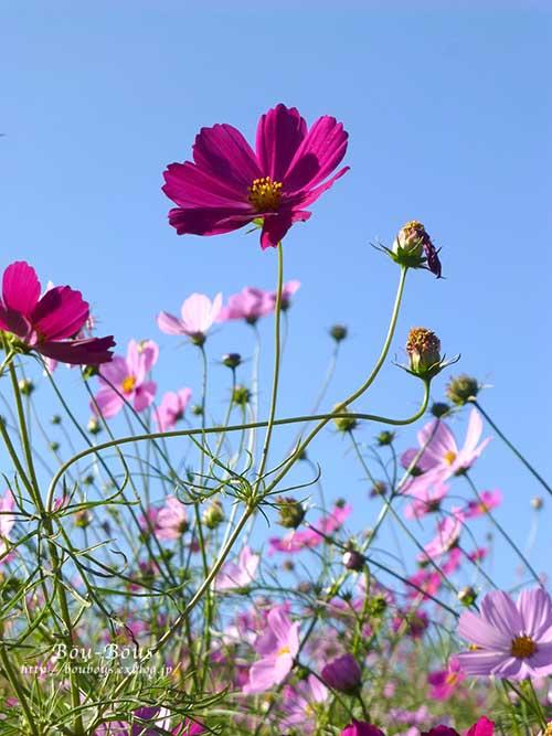 秋の昭和記念公園 その2 コスモスの丘・他_d0128697_23133856.jpg