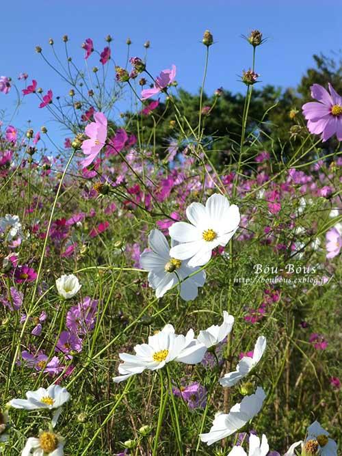 秋の昭和記念公園 その2 コスモスの丘・他_d0128697_2313515.jpg