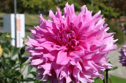 咲いてます!川西ダリヤ園・・・140_c0075701_1157481.jpg