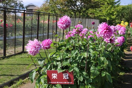 咲いてます!川西ダリヤ園・・・140_c0075701_1158297.jpg