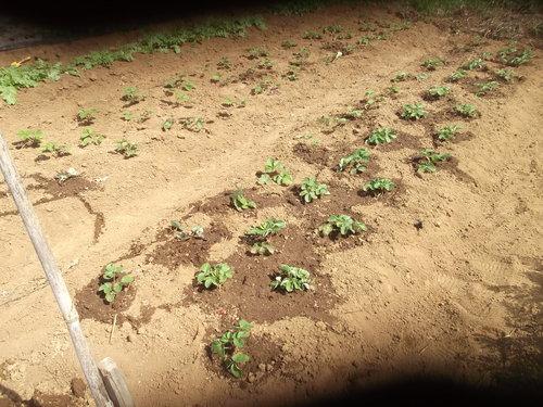急遽イチゴの追加定植...です。_b0137932_1445431.jpg