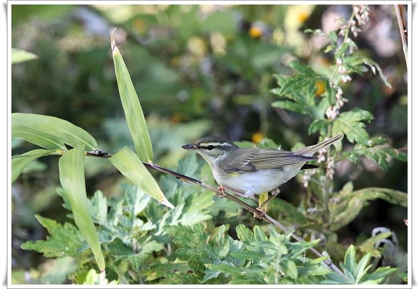 メボソムシクイは、夏鳥として北海道、本州、四国に渡来_b0346933_11414997.jpg