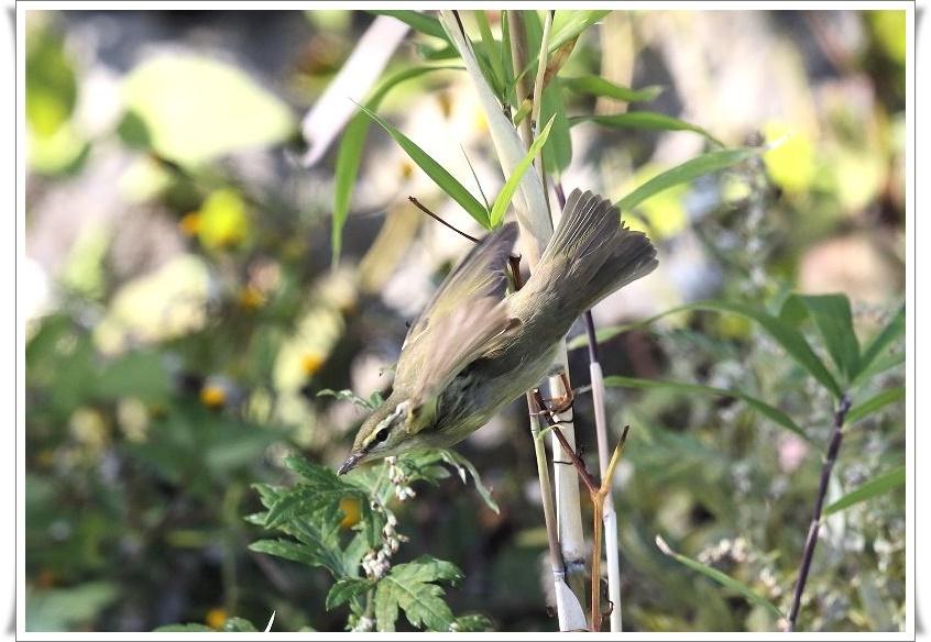 メボソムシクイは、夏鳥として北海道、本州、四国に渡来_b0346933_11415740.jpg